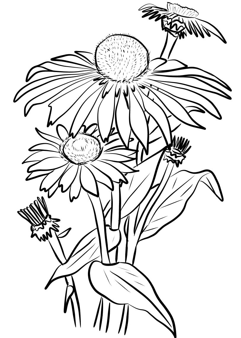 Mẫu tranh tô màu hoa cúc đẹp nhất