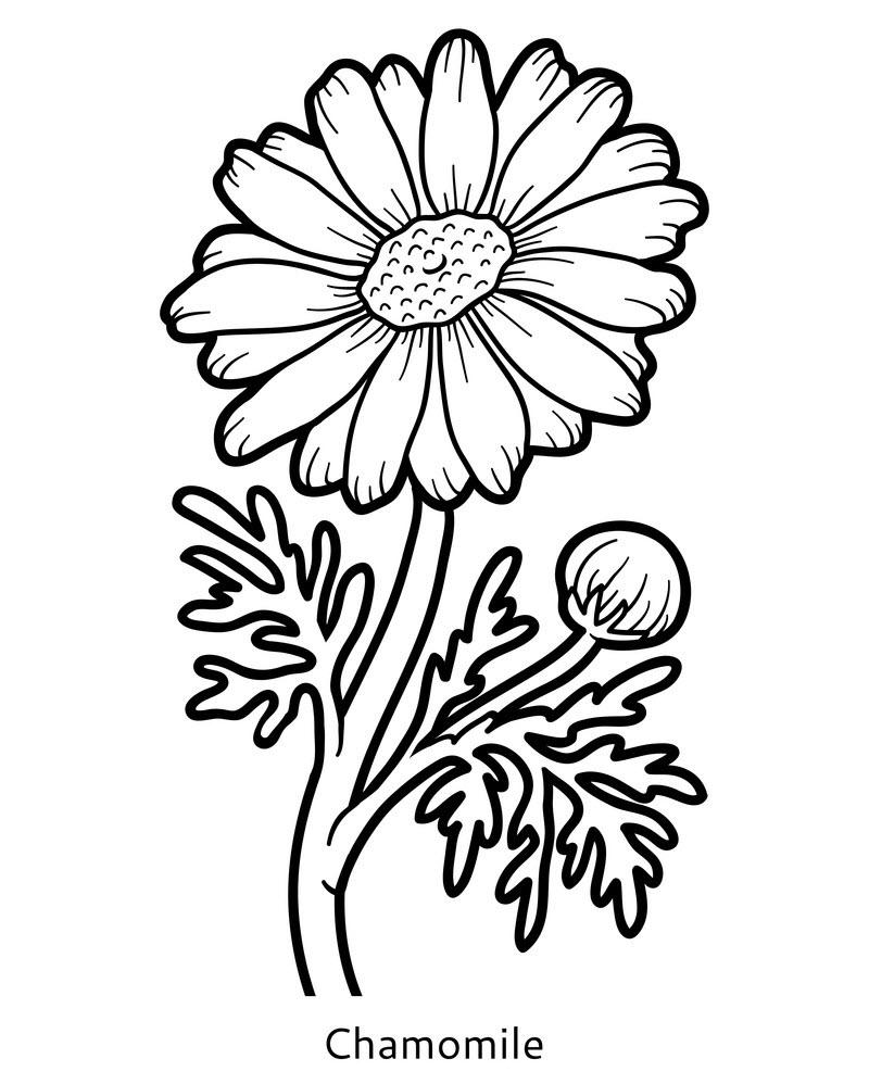 Tranh hoa cúc tô màu đơn giản