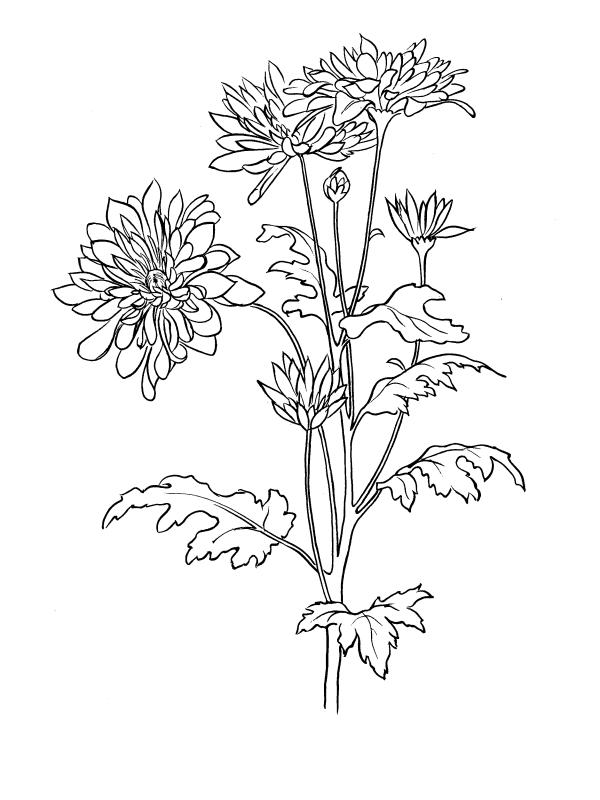 Tranh tô màu hoa cúc đẹp, ý nghĩa