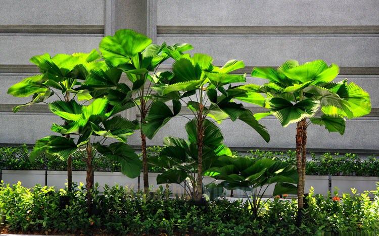 Cây cọ Nhật - Ý nghĩa phong thủy, cách trồng và chăm sóc