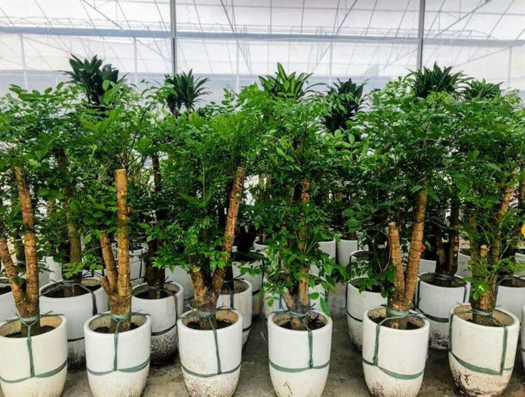 Cây Hạnh phúc là một loài cây thân gỗ, có sức sống khá mãnh liệt, bạn có thể trồng mới quanh năm