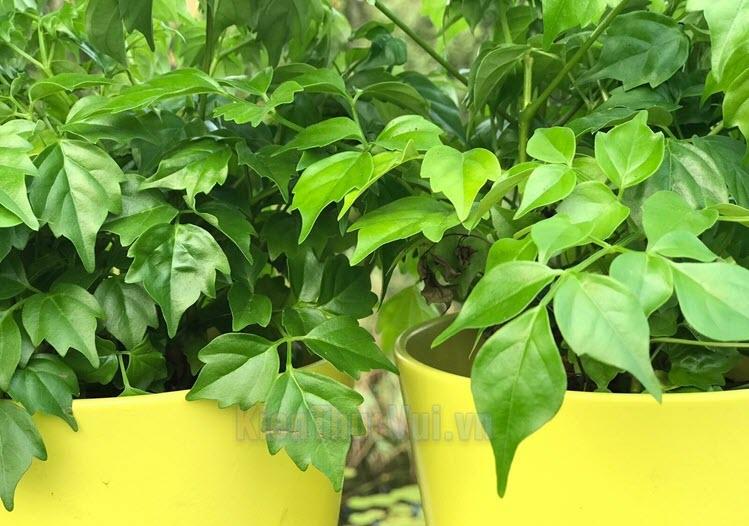 Cây Hạnh Phúc thuộc loại cây chịu nắng bán phần, không thích hợp với trời nắng gắt