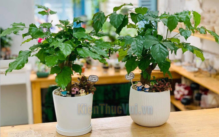 Cây Hạnh Phúc - Ý nghĩa phong thủy, cách trồng và chăm sóc