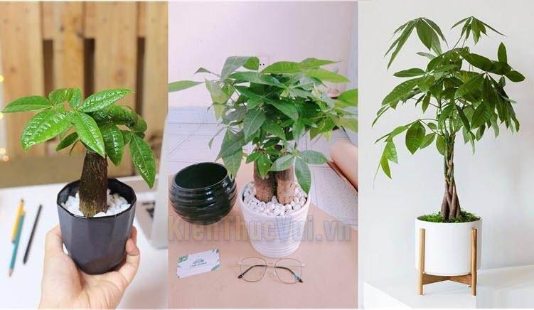 Cây kim ngân thường được trồng đơn lẻ, cũng có khi trồng nhiều cây lại với nhau