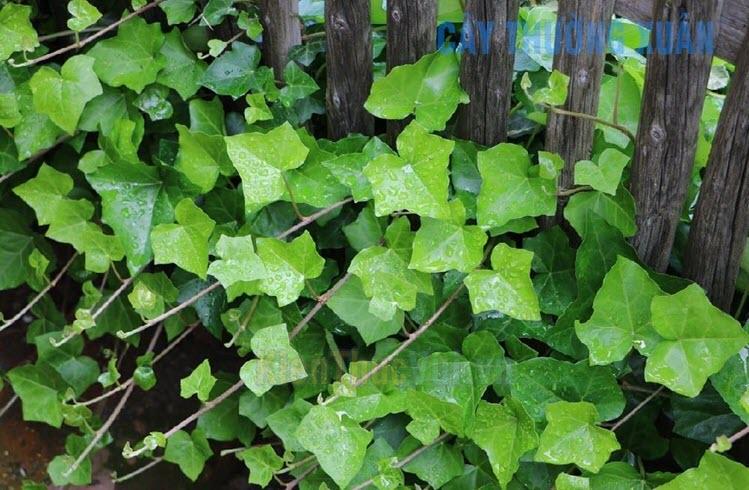 Cây Thường Xuân là một loại cây thân thảo, thuộc bộ dây leo, có thể leo cao 20-30m