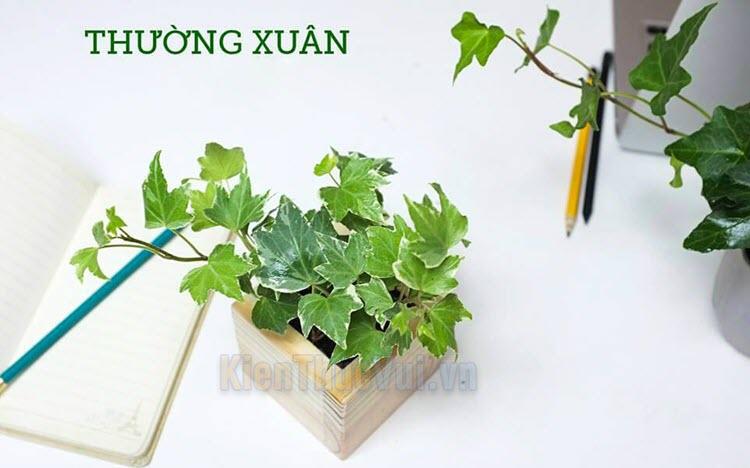 Cây Thường Xuân - Ý nghĩa phong thủy, cách trồng và chăm sóc