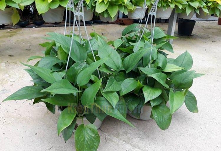 Cây Trầu Bà rất dễ sinh trưởng, sống tốt trong môi trường khí hậu nhiệt đới