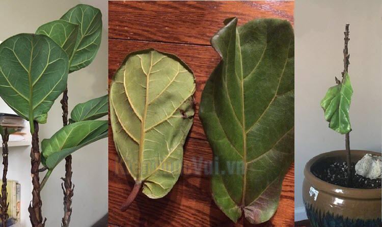 Không cung cấp đủ lượng nước tưới khiến cho cây bị thiếu nước, phải đào thải bớt lá để duy trì sự sống