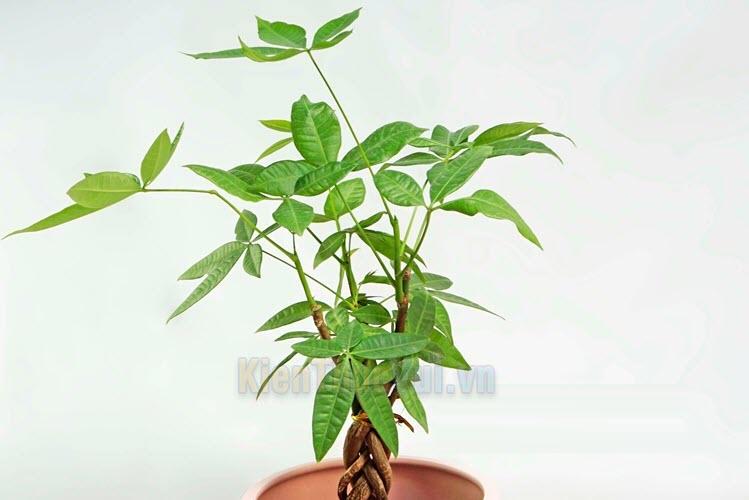 Trong phần lá và cuống cây kim ngân có tiết ra một loại mủ