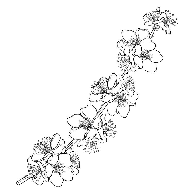 Tranh hoa mai chưa tô màu cho bé