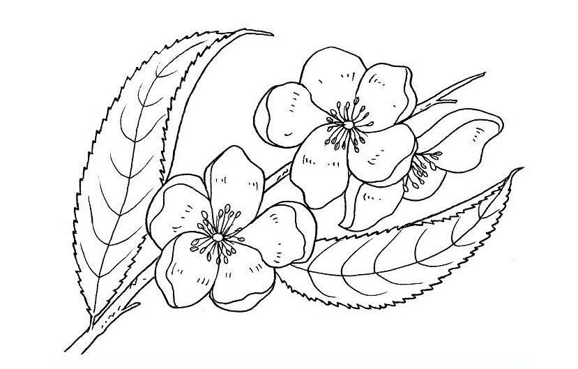 Tranh tô màu hoa đào chân thực đẹp nhất
