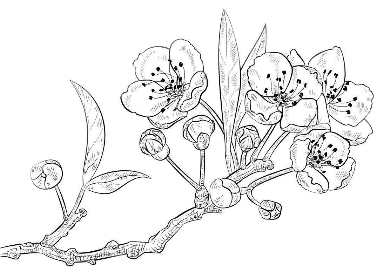 Tranh tô màu hoa đào đẹp nhất