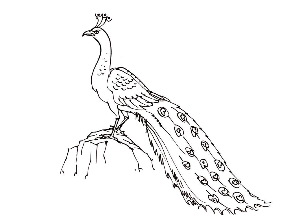 Tranh tô màu con chim công đuôi dài