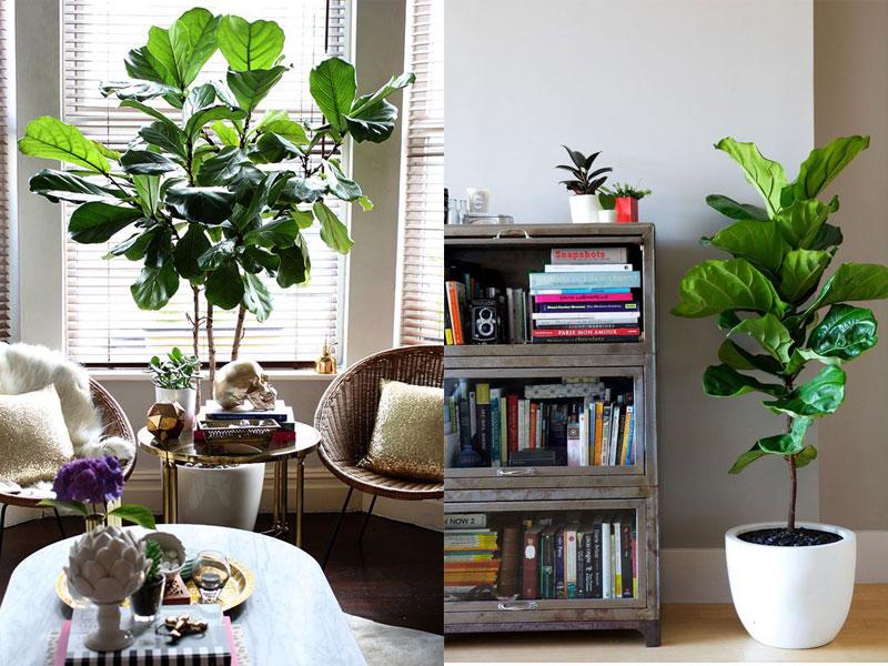 Ảnh cây bàng Singapore trong không gian phòng khách
