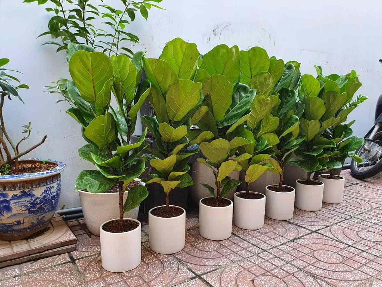 Ảnh cây bàng Singapore với nhiều kích thước