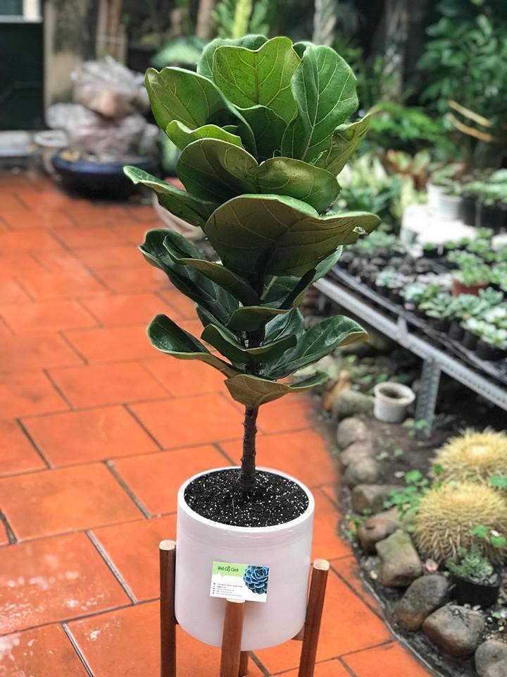 Ảnh cây bàng Singapore