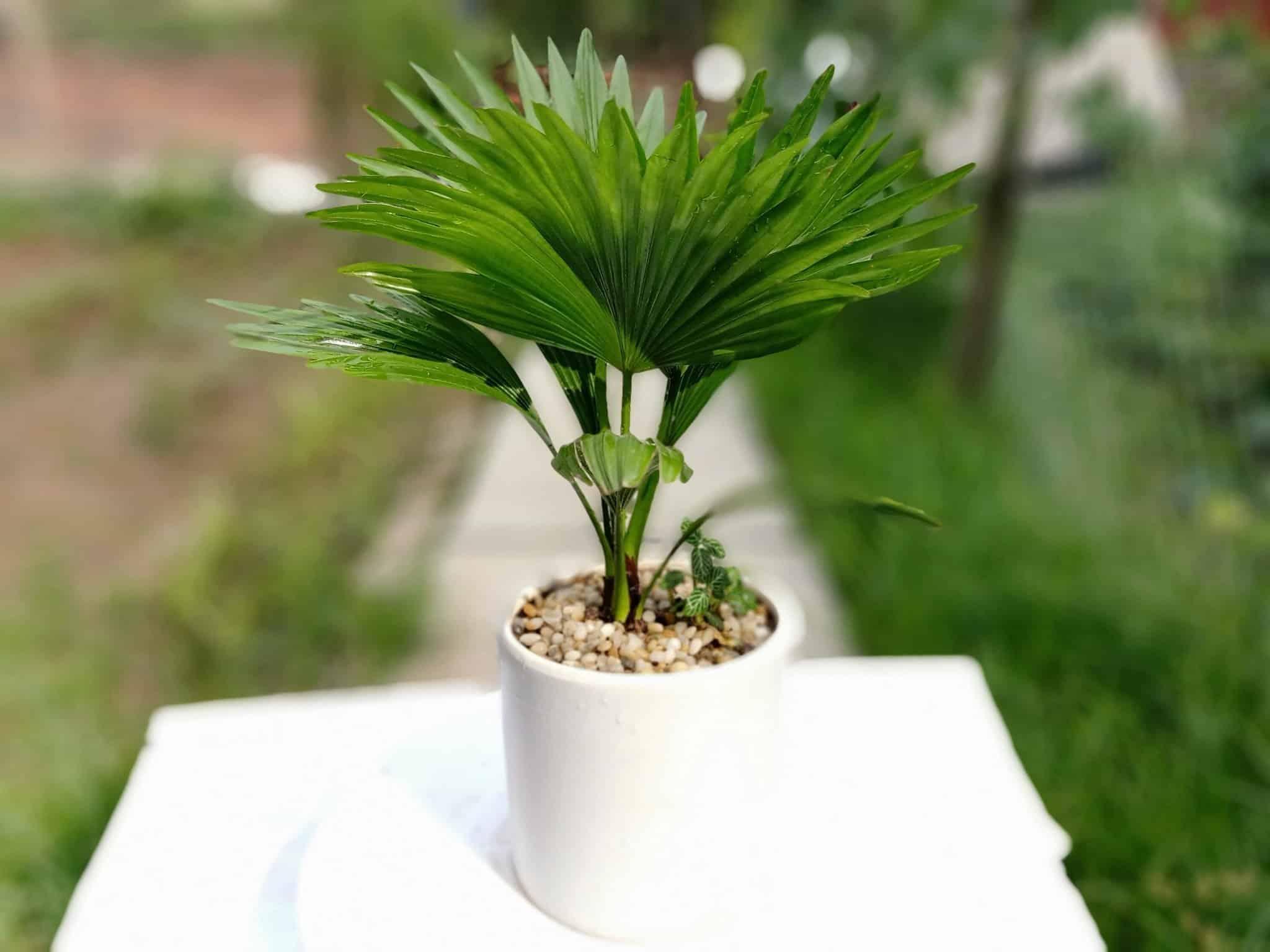 Ảnh cây cọ Nhật - Tiểu cảnh văn phòng mini
