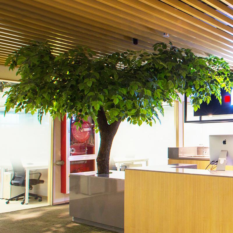 Ảnh cây Hạnh phúc gốc lớn trang trí văn phòng