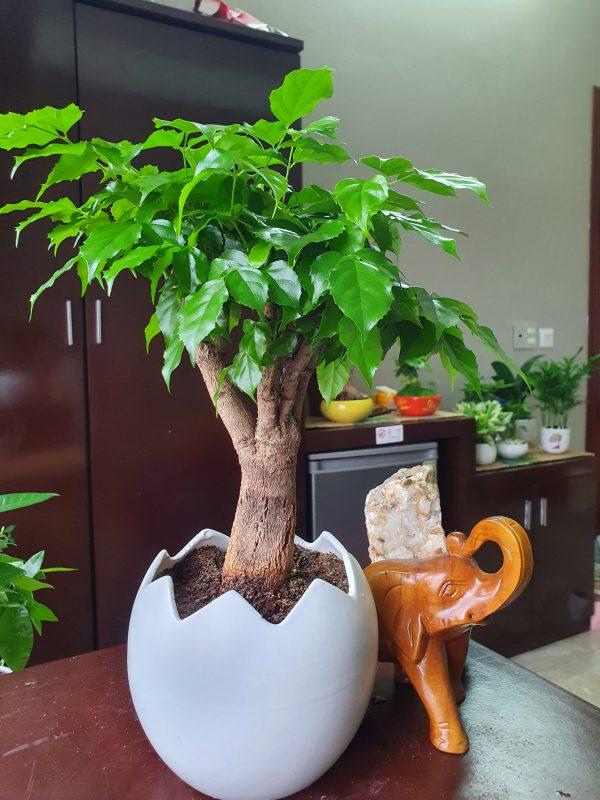 Ảnh cây Hạnh phúc