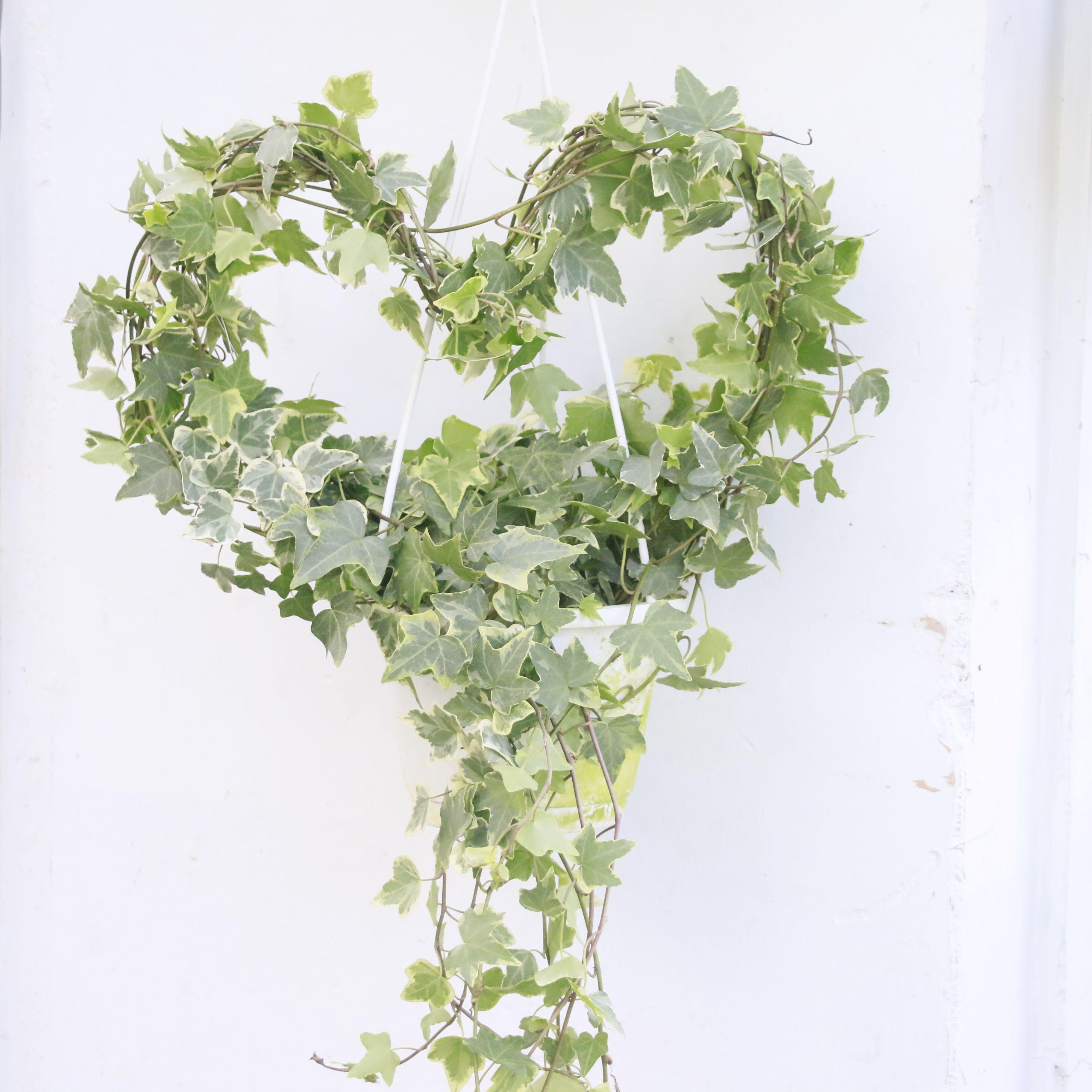 Ảnh cây Thường Xuân kết hình trái tim