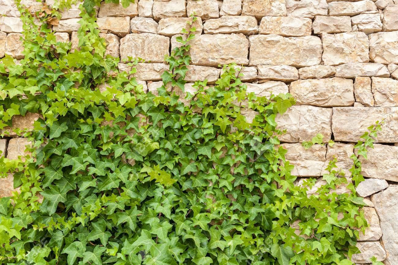 Ảnh cây Thường Xuân leo tường