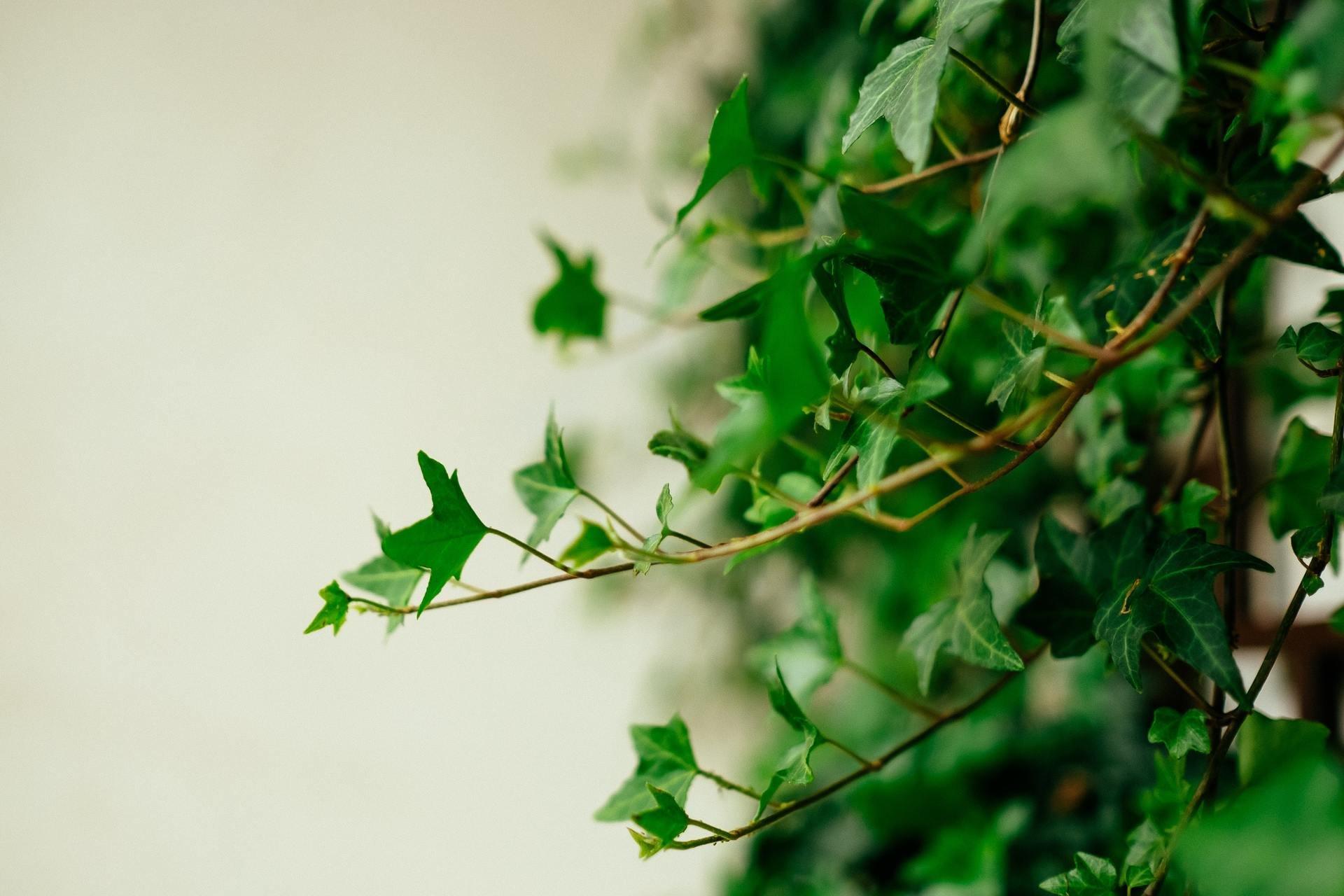 Ảnh cây Thường Xuân (Vạn niên)