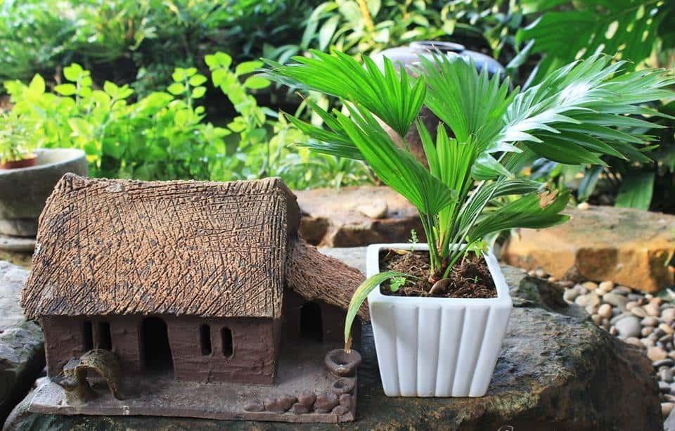 Cách chăm sóc cây cọ Nhật