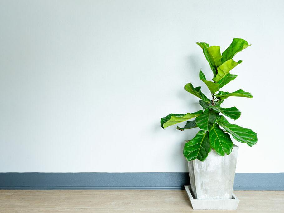 Cách chọn cây bàng Singapore hợp phong thủy