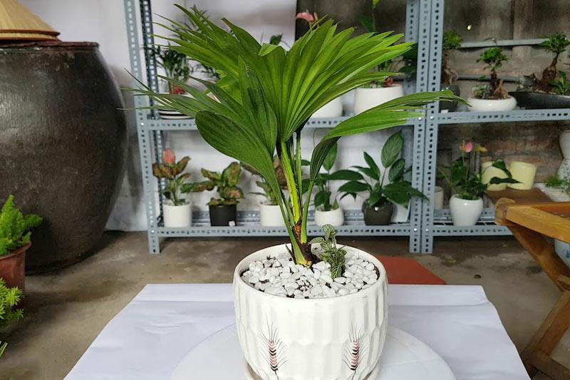 Cách trồng cây cọ Nhật
