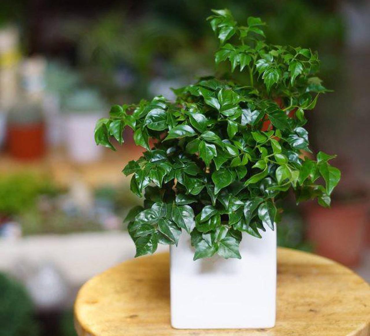 Cách trồng cây Hạnh phúc