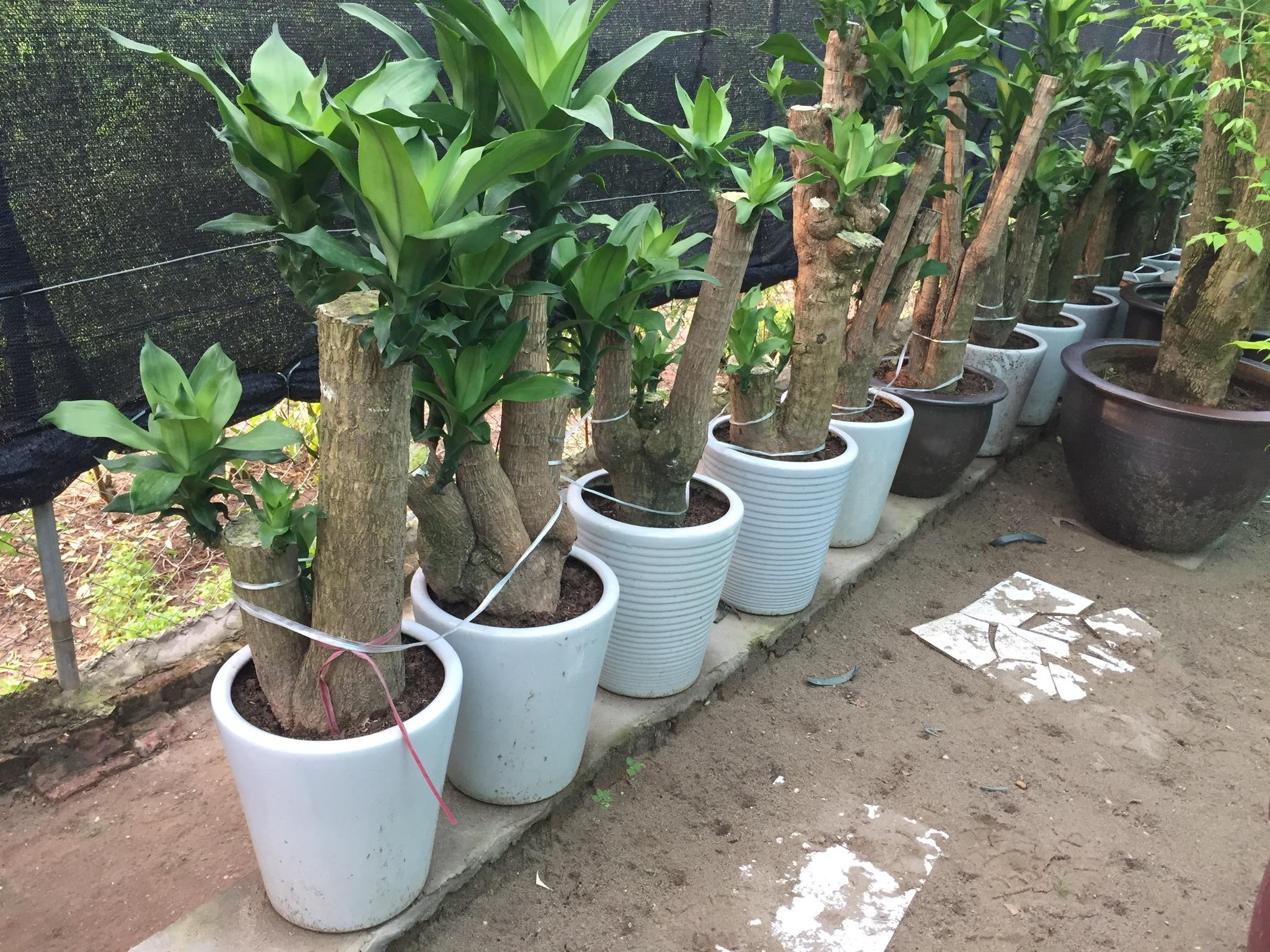 Cách trồng và chăm sóc cây Thiết Mộc Lan