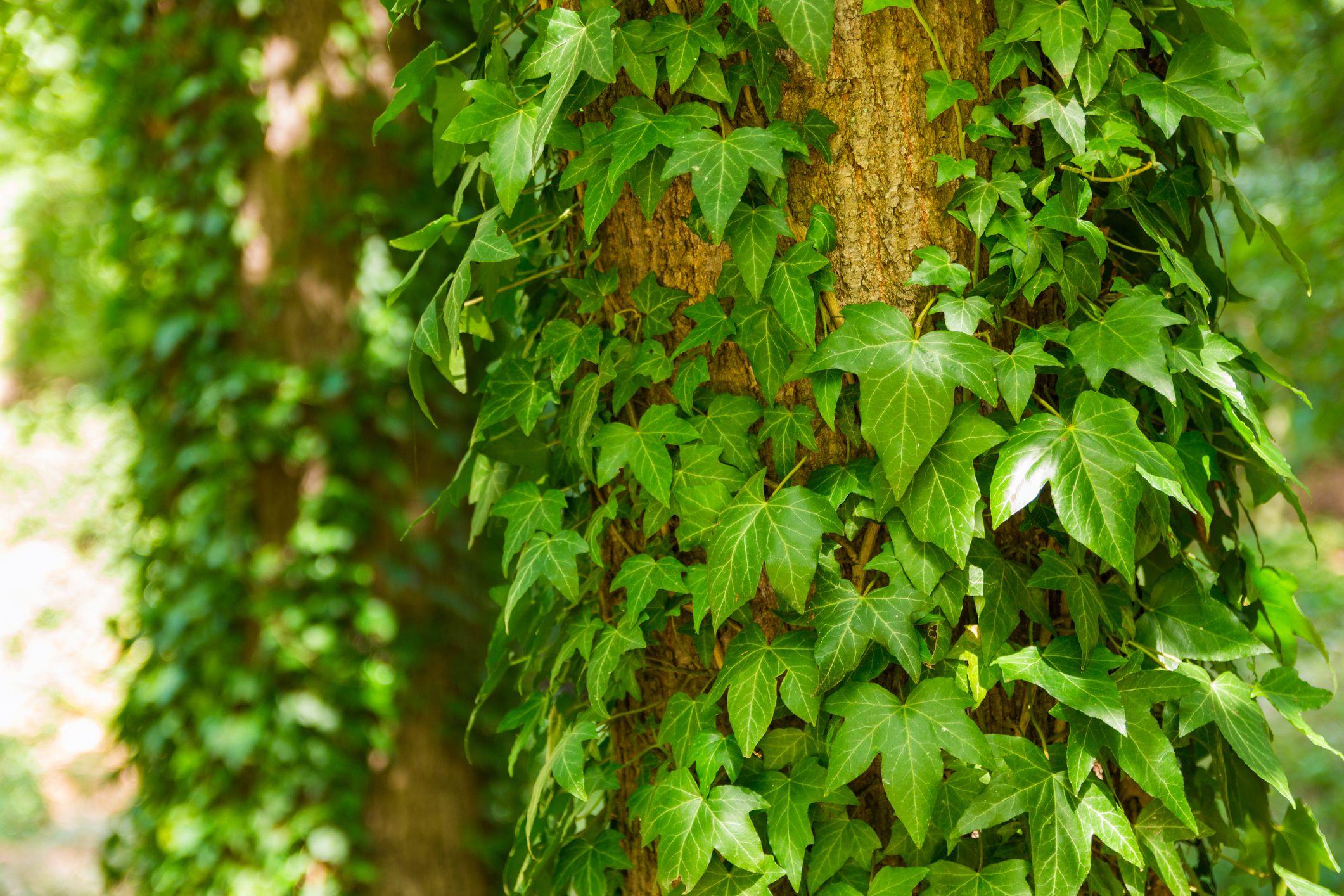 Cận cảnh cây Thường Xuân