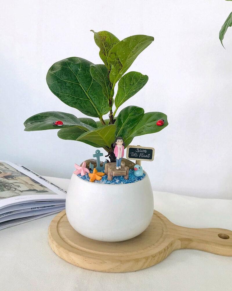 Cây bàng Singapore - Cây  trang trí nội thất đẹp. dễ trồng