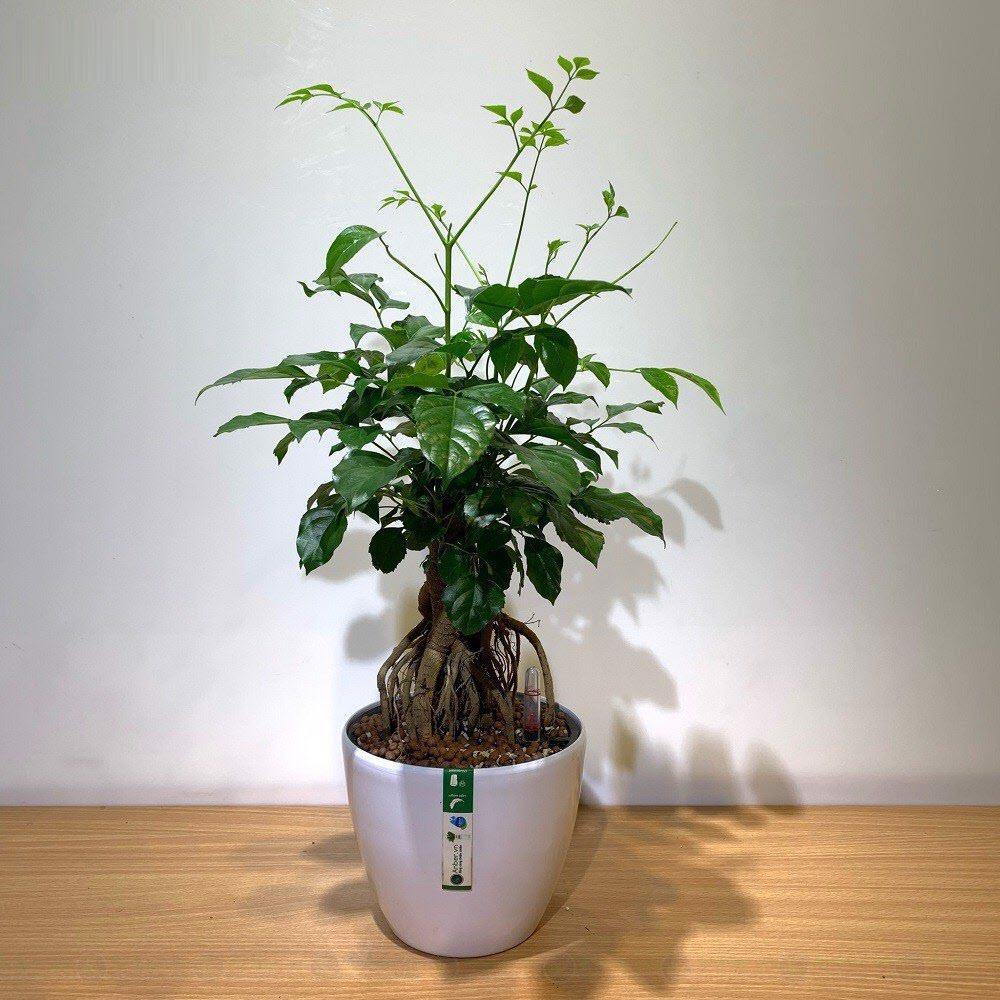 Cây Hạnh phúc bonsai để bàn