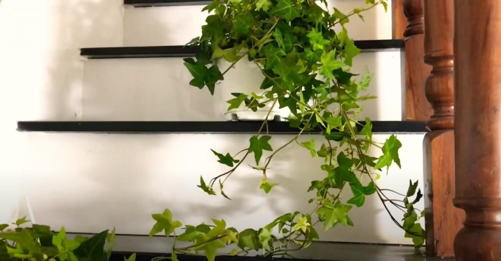 Cây Thường Xuân dùng để trang trí nội thất