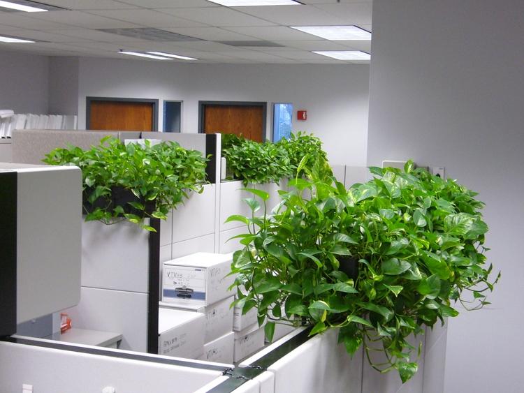 Cây Trầu Bà được sử dụng để trang trí văn phòng