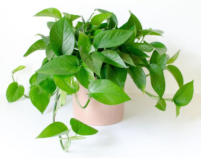 Cây Trầu Bà Thái xanh