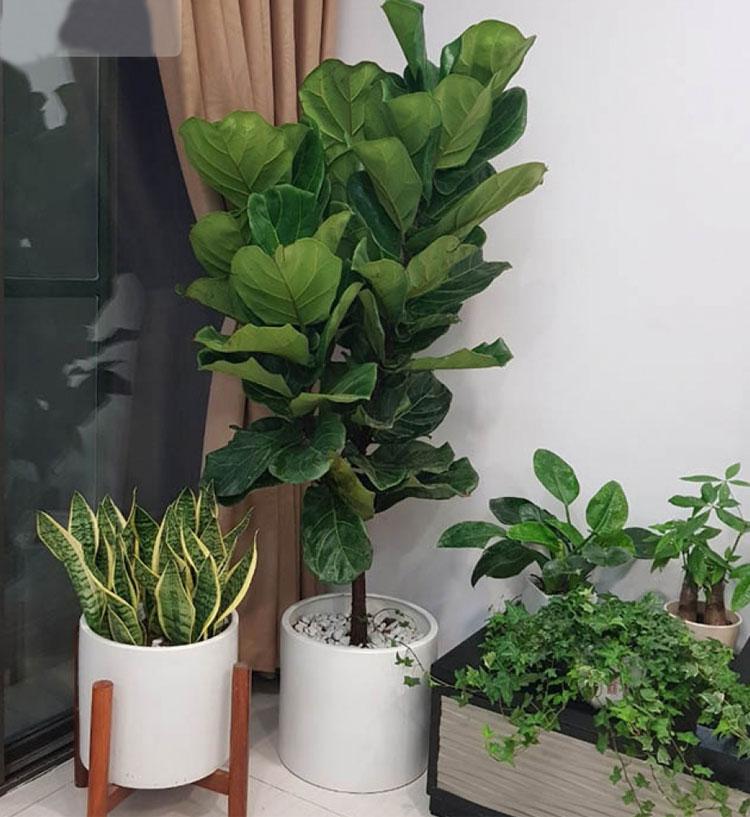 Hình ảnh cây bàng Singapore đặt ở góc phòng