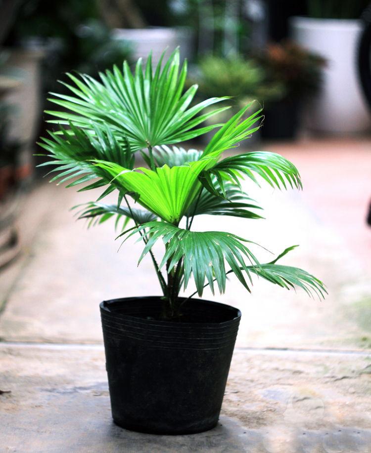 Lợi ích của cây cọ Nhật